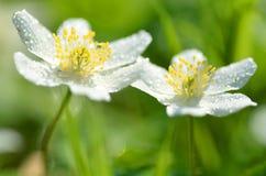 El primer de la anémona florece en el rocío de la mañana Fotos de archivo