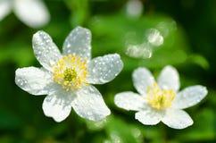 El primer de la anémona florece en el rocío de la mañana Foto de archivo