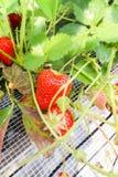 El primer de la fresa da fruto en la rama en granja de la fresa, Fotos de archivo