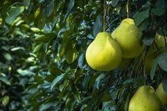 El primer de la fruta de los pomelos Imagen de archivo