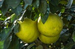 El primer de la fruta de los pomelos Fotografía de archivo libre de regalías