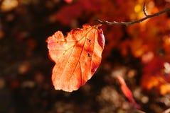 El primer de la hoja roja en una ramita puso en contraste contra las sombras Fotos de archivo