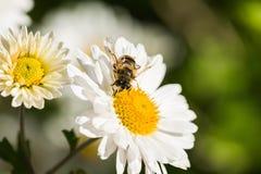 El primer de la manzanilla florece con la abeja aislada encendido Imagen de archivo