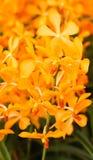 El primer de la orquídea anaranjada florece con la hoja verde Imagenes de archivo