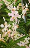 El primer de la orquídea blanca y rosada florece con la hoja verde Fotografía de archivo libre de regalías