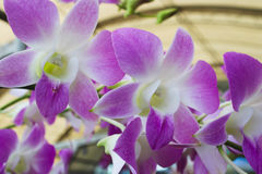 El primer de la orquídea púrpura florece con la hoja verde Foto de archivo
