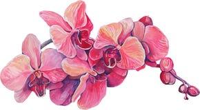 El primer de la orquídea rosada florece en una rama Imagenes de archivo