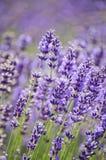 El primer de la púrpura real de la lavanda florece en sol Imagen de archivo libre de regalías