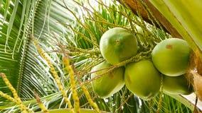 El primer de la palmera verde exótica se va con el racimo de fruta redonda fresca joven del coco con leche dentro travieso almacen de metraje de vídeo