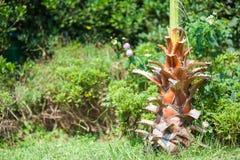 El primer de la palmera verde ex?tica se va con el racimo de fruta redonda fresca joven del coco con leche dentro S?mbolo tropica imagen de archivo