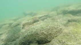 El primer de las medusas de la medusa flota lentamente en agua de mar metrajes
