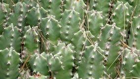 El primer de los cactus en las condiciones naturales Ken quema efecto almacen de metraje de vídeo