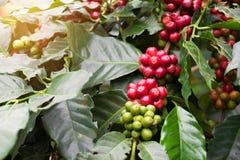 El primer de los granos de café da fruto en árbol en granja Foto de archivo