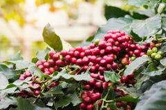 El primer de los granos de café da fruto en árbol en granja Imagen de archivo