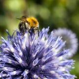 El primer de manosea la abeja en cardo púrpura Fotos de archivo libres de regalías