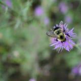 El primer de manosea la abeja en la flor del cardo de Canadá Imagen de archivo