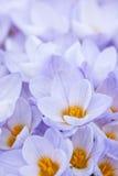 Flores abundantes del azafrán Imágenes de archivo libres de regalías