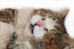 El primer de un gato el dormir, un gato ha encontrado su hogar y es animales felices del rescate de la calle foto de archivo libre de regalías