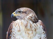 El primer de un halcón ferruginoso Imagen de archivo
