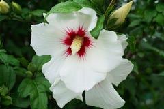 El primer de un hibisco blanco florece syriacus del hibisco con el raspb fotografía de archivo