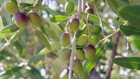 El primer de un manojo de aceitunas inmaduras se sacude en el viento en un olivo almacen de video