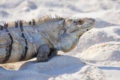 El primer de un negro espinoso-ató la iguana, la iguana negra, o el ctenosaur negro Similis de Ctenosaura imagenes de archivo