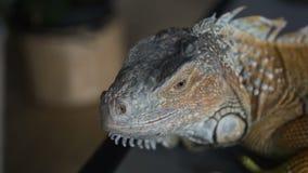 El primer de un reptil mira en la cámara y da vuelta a su cabeza retrato de la iguana salvaje almacen de metraje de vídeo