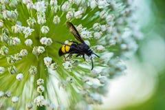 El primer de una avispa fotografió el primer, sentándose en los pequeños pétalos de la flor blanca Fotos de archivo