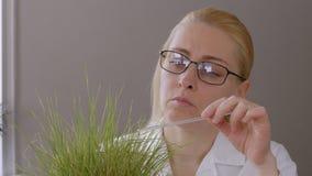 El primer de una mujer en vidrios en el laboratorio examina los brotes de secar la hierba amarilleada, tocando una barra de crist almacen de video