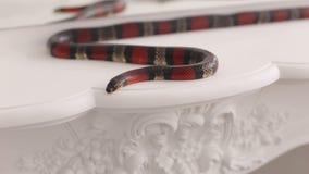 El primer de una serpiente negro-y-roja miente en una tabla metrajes