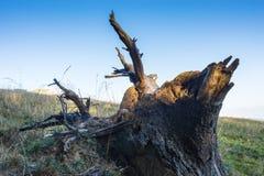 El primer del árbol arraiga tirar para arriba Foto de archivo libre de regalías