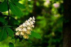 El primer del árbol del Conker del hippocastanum del Aesculus de la castaña de Indias f florece y las hojas en un fondo verde Imagen de archivo libre de regalías
