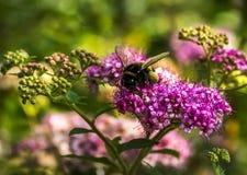 El primer del abejorro recoge el polen de una flor Fotos de archivo