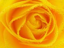 El primer del amarillo se levantó con gotas imagen de archivo