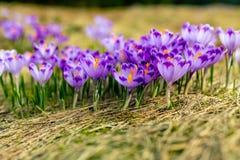 El primer del azafr?n sobre la hierba verde, flores ajardina imágenes de archivo libres de regalías