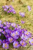 El primer del azafr?n sobre la hierba verde, flores ajardina fotografía de archivo