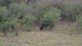 El primer del búfalo poderoso pasta en los arbustos de la sabana africana almacen de video
