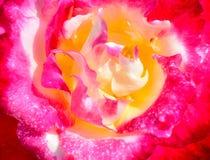 El primer del color de rosa se levantó Imagen de archivo