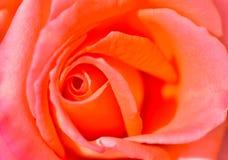 El primer del color de rosa se levantó Foto de archivo libre de regalías