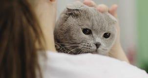 El primer del escocés dobla el gato que se sienta en los brazos de una mujer metrajes