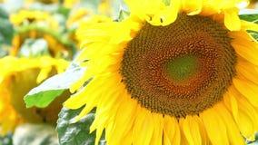 El primer del girasol en los girasoles coloca en el día ventoso soleado Abejorros del vuelo sobre la flor almacen de metraje de vídeo