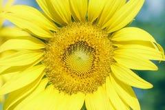 El primer del girasol, primer del girasol floreciente en girasoles coloca, Fotos de archivo libres de regalías