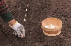 El primer del jardinero fija el ajo en suelo en el campo Imagen de archivo