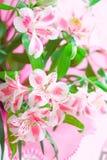El primer del lirio rosado florece con el foco suave Fotografía de archivo