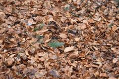 El primer del marrón se va en un bosque en Alemania Foto de archivo