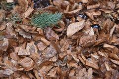 El primer del marrón se va en un bosque en Alemania Fotos de archivo libres de regalías