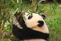 El primer del oso de panda gigante que come el bambú se va Foto de archivo