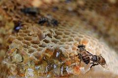 El primer del panal y tiene abeja de la miel Fotos de archivo