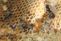 El primer del panal y tiene abeja de la miel Imagen de archivo