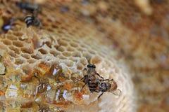 El primer del panal y tiene abeja de la miel Foto de archivo libre de regalías